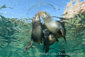 Sea Lions playing in shallow water, Los Islotes, Sea of Cortez. Los Islotes, Baja California, Mexico, natural history stock photograph, photo id 32506