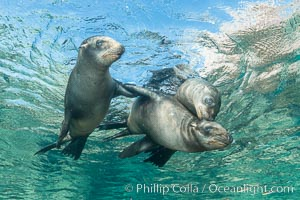 Sea Lions playing in shallow water, Los Islotes, Sea of Cortez. Los Islotes, Baja California, Mexico, natural history stock photograph, photo id 32511