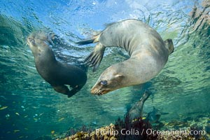 Sea Lions playing in shallow water, Los Islotes, Sea of Cortez
