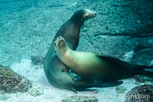 Sea lions resting and socializing underwater, Zalophus californianus, Sea of Cortez