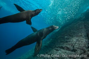 Sea lions underwater, adult male (right) and female, Zalophus californianus, Sea of Cortez