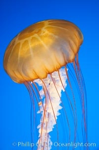 Sea nettles., Chrysaora fuscescens, natural history stock photograph, photo id 14083