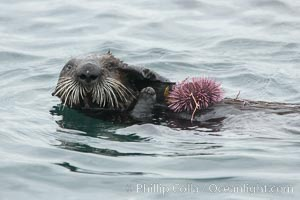 Sea otter rests on the ocean surface, grasping a purple sea urchin it has just pulled up off the ocean bottom and will shortly eat. Monterey, Enhydra lutris, Strongylocentrotus purpuratus