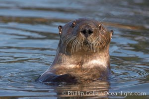 A sea otter, looking at the photographer as it forages for food in Elkhorn Slough, Enhydra lutris, Elkhorn Slough National Estuarine Research Reserve, Moss Landing, California