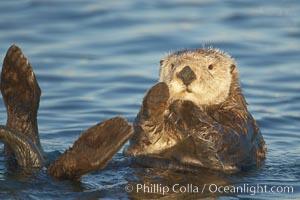 A sea otter resting, holding its paws out of the water to keep them warm and conserve body heat as it floats in cold ocean water. Elkhorn Slough National Estuarine Research Reserve, Moss Landing, California, USA, Enhydra lutris, natural history stock photograph, photo id 21616