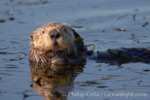 A sea otter, resting and floating on its back, in Elkhorn Slough. Elkhorn Slough National Estuarine Research Reserve, Moss Landing, California, USA, Enhydra lutris, natural history stock photograph, photo id 21617
