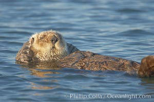 A sea otter, resting and floating on its back, in Elkhorn Slough, Enhydra lutris, Elkhorn Slough National Estuarine Research Reserve, Moss Landing, California
