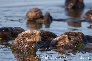 Sea otters, resting on the surface by lying on their backs, in a group known as a raft, Enhydra lutris, Elkhorn Slough National Estuarine Research Reserve, Moss Landing, California