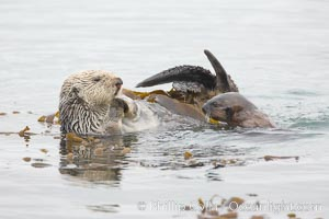 A female sea otter floats on its back on the ocean surface while her pup pops its head above the water for a look around.  Both otters will wrap itself in kelp (seaweed) to keep from drifting as it rests and floats, Enhydra lutris, Morro Bay, California