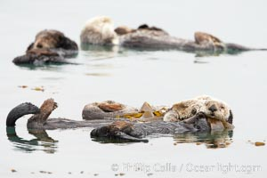 Five sea otters float on their backs on the ocean surface.  Each will wrap itself in kelp (seaweed) to keep from drifting as it rests and floats, Enhydra lutris, Morro Bay, California
