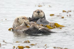 Two sea otters float on their backs on the ocean surface.  Each will wrap itself in kelp (seaweed) to keep from drifting as it rests and floats, Enhydra lutris, Morro Bay, California