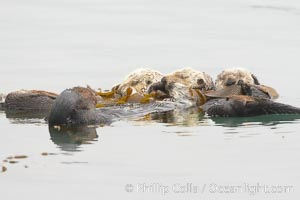 Three sleeping sea otters float on their backs on the ocean surface.  Each has wrapped itself in kelp (seaweed) to keep from drifting, Enhydra lutris, Morro Bay, California