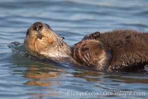 A sea otter mother pulls her days-old pup through the water.  The pup still has the fluffy fur it was born with, which traps so much fur the pup cannot dive and floats like a cork, Enhydra lutris, Elkhorn Slough National Estuarine Research Reserve, Moss Landing, California