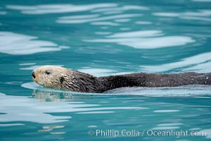 Sea otter, Enhydra lutris, Resurrection Bay, Kenai Fjords National Park, Alaska
