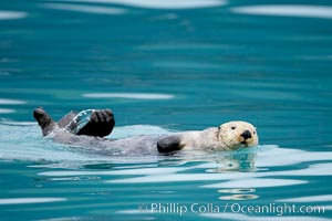 Sea otter. Resurrection Bay, Kenai Fjords National Park, Alaska, USA, Enhydra lutris, natural history stock photograph, photo id 16941