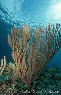 Soft coral. Bahamas, Plexaurella, natural history stock photograph, photo id 05360
