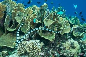 Sea snake, banded sea krait, Nigali Pass on Gao Island, Fiji, Turbinaria reniformis, Cabbage Coral, Nigali Passage, Gau Island, Lomaiviti Archipelago