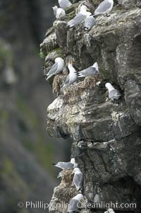 Seabirds nest on coastal rocks. Kenai Fjords National Park, Alaska, USA, natural history stock photograph, photo id 17382