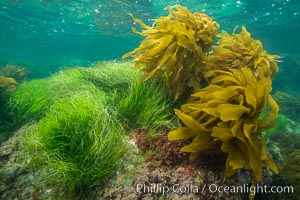 Seagrass and southern sea palm, Catalina, Phyllospadix, Catalina Island