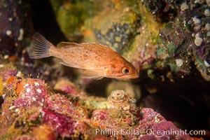 Kelp rockfish, Channel Islands. California, USA, Sebastes atrovirens, natural history stock photograph, photo id 07076