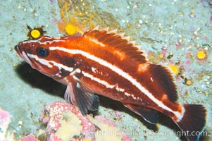 Yelloweye rockfish, juvenile.  The juvenile yelloweye rockfish is black and white and only slowly becomes bright orange after migrating to deep water and maturing, Sebastes ruberrimus