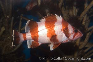Flag rockfish., Sebastes rubrivinctus, natural history stock photograph, photo id 07867