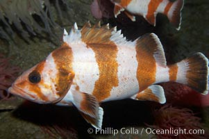 Flag rockfish., Sebastes rubrivinctus, natural history stock photograph, photo id 11785