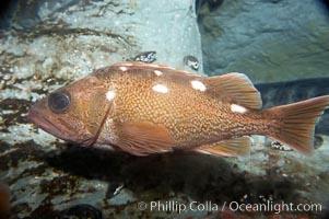 Honeycomb rockfish, Sebastes umbrosus