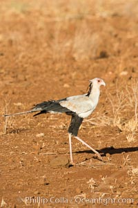 Secretary bird, a large bird of prey in Kenya, Sagittarius serpentarius, Meru National Park