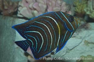 Semicircle angelfish, juvenile form., Pomacanthus semicirculatus, natural history stock photograph, photo id 07924