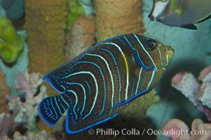 Semicircle angelfish, juvenile form, Pomacanthus semicirculatus