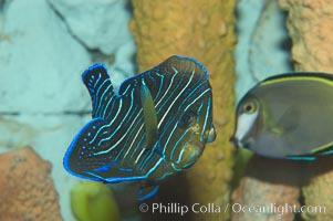 Semicircle angelfish, juvenile form., Pomacanthus semicirculatus, natural history stock photograph, photo id 07929