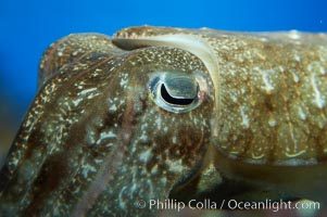 Common cuttlefish, Sepia officinalis