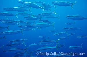 School of juvenile North Pacific Yellowtail, attracted to nearby drift kelp, open ocean, Seriola lalandi, San Diego, California