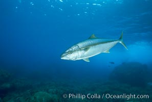 North Pacific Yellowtail, Seriola lalandi, Guadalupe Island (Isla Guadalupe)