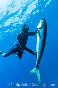 Craig OConnor and his pending spearfishing world record North Pacific yellowtail (77.4 pounds), taken on a breathold dive with a band-power speargun near Abalone Point.  Guadalupe Island is home to enormous yellowtail.  The three most recent spearfishing world records for Northern yellowtail have been taken at Guadalupe. July 2004, Seriola lalandi, Guadalupe Island (Isla Guadalupe)