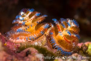Serpulid polychaete Christmas Tree Worm, Sea of Cortez. Isla Espiritu Santo, Baja California, Mexico, natural history stock photograph, photo id 33782