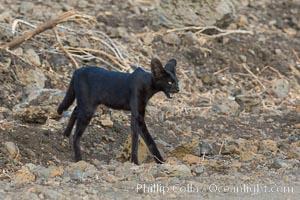 Serval cat, melanistic variation, Meru National Park, Kenya, Leptailurus serval
