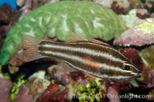 Sevenstriped cardinalfish, Apogon novemfasciatus