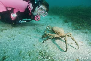 Diver and sheep crab, Loxorhynchus grandis, Catalina Island