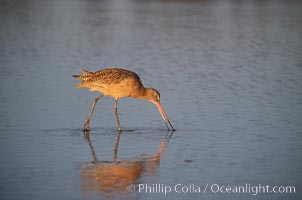 Shorebird on the beach, reflection, Del Mar, California