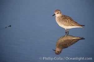 Shorebird on the beach, reflection, Del Mar, California