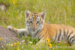 Siberian tiger cub, male, 10 weeks old, Panthera tigris altaica