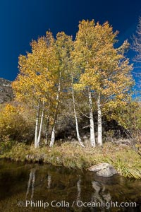 Bishop Creek and aspen trees in autumn, in the eastern Sierra Nevada mountains. Bishop Creek Canyon Sierra Nevada Mountains, Bishop, California, USA, Populus tremuloides, natural history stock photograph, photo id 26086