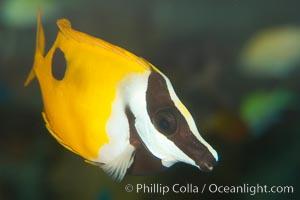 Onespot rabbitfish, Siganus unimaculatus