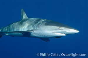 Silky Shark at San Benedicto Islands, Revillagigedos, Mexico. Socorro Island (Islas Revillagigedos), Baja California, Mexico, Carcharhinus falciformis, natural history stock photograph, photo id 33316