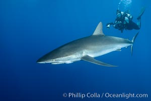 Silky Shark at San Benedicto Islands, Revillagigedos, Mexico, Carcharhinus falciformis, Socorro Island (Islas Revillagigedos)