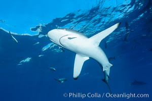 Silky Shark at San Benedicto Islands, Revillagigedos, Mexico. Socorro Island (Islas Revillagigedos), Baja California, Mexico, Carcharhinus falciformis, natural history stock photograph, photo id 33323