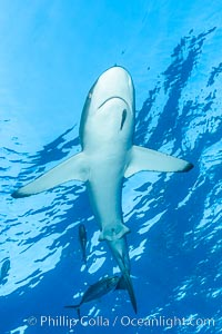 Silky Shark at San Benedicto Islands, Revillagigedos, Mexico. Socorro Island (Islas Revillagigedos), Baja California, Mexico, Carcharhinus falciformis, natural history stock photograph, photo id 33324