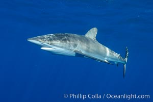 Silky Shark at San Benedicto Islands, Revillagigedos, Mexico. Socorro Island (Islas Revillagigedos), Baja California, Mexico, Carcharhinus falciformis, natural history stock photograph, photo id 33325